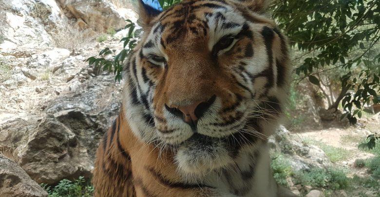 أشهر غرائب الحيوانات المفترسة MaxPixel.freegreatpicture.com-Wild-Animals-Wild-Animal-Tawny-Feline-Tiger-Zoo-2785598-780x405
