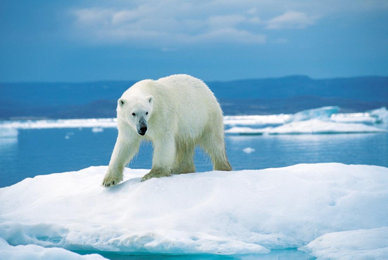 صفات الدب القطبي المثيرة للإهتمام مجلة محطات