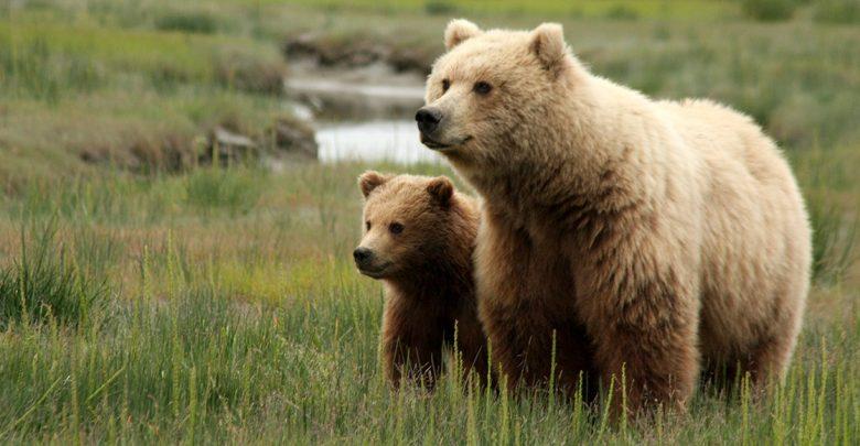 لغة التواصل بين الحيوانات وأمثلة عليها Image-w-cred-cap_-1200w_-Bear-Safety-Page_-sow-with-cub_2-780x405