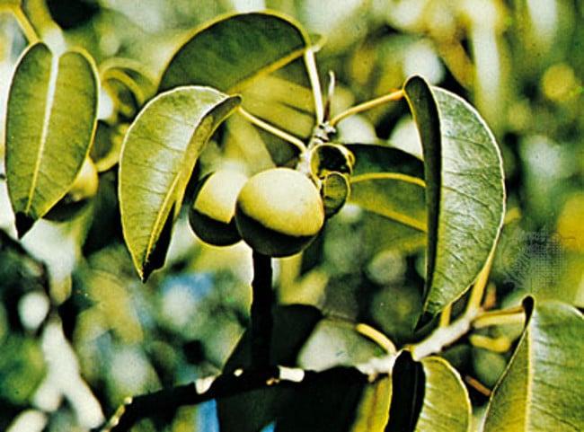 نباتات خطيرة وسامة